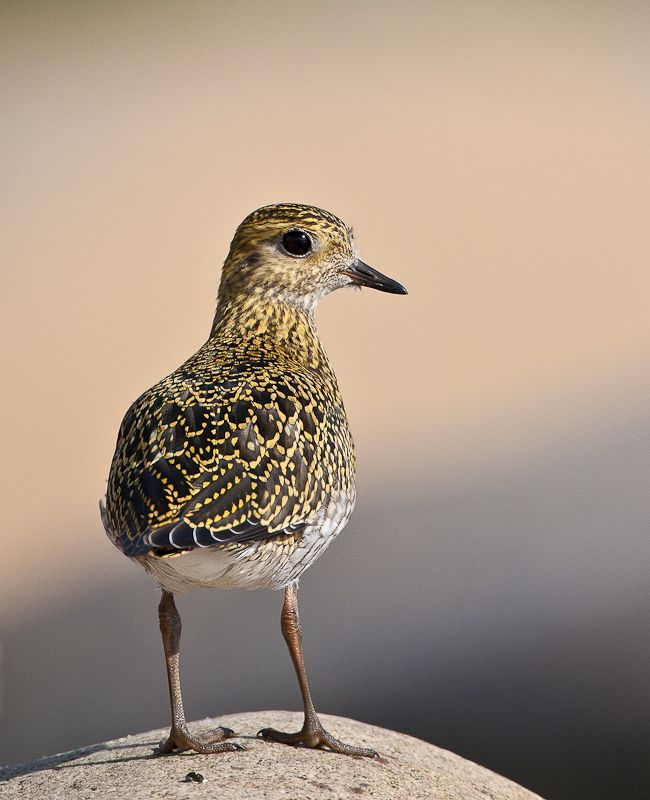 European Golden Plover (Pluvialis apricaria). A winter visitor and passage migrant; scarce breeder.