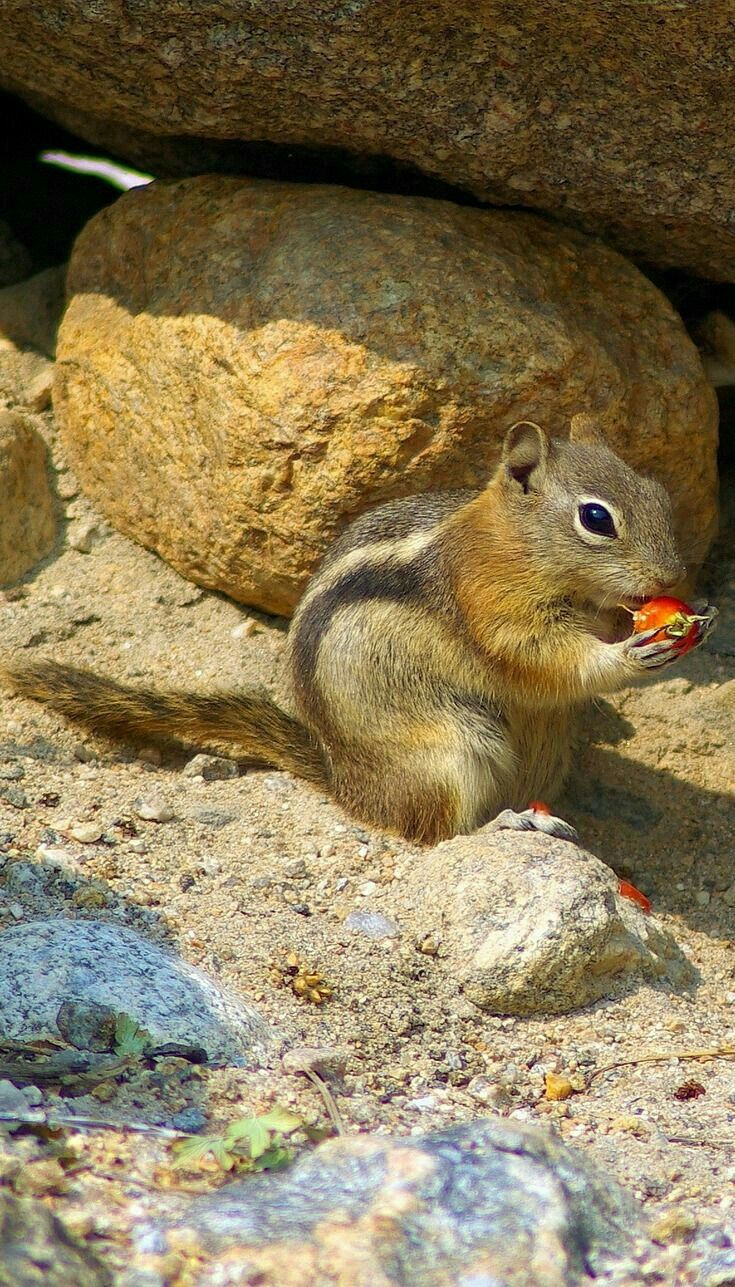 Pin By Marvellouslines On Wild Animal Wallpapers In 2020 Ground Squirrel Wild Animal Wallpaper Extreme Pets