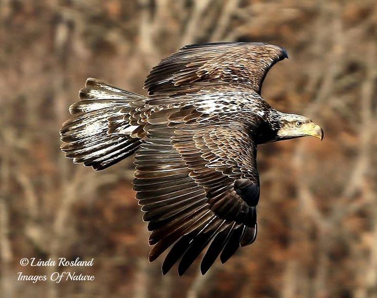 beautiful immature Bald Eagle