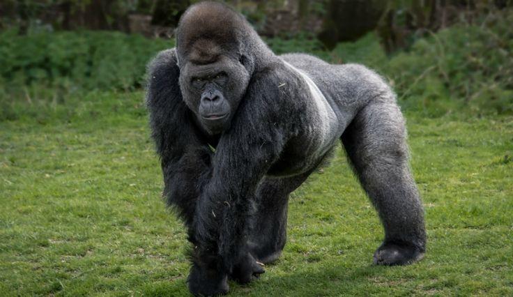 silverback mountain gorilla strength google search