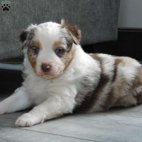 Anson Miniature Australian Shepherd Puppy For Sale In Ohio In 2020 Miniature Australian Shepherd Puppies Australian Shepherd Puppies Australian Shepherd
