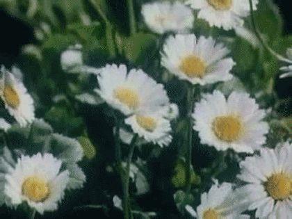 Daisies are the friendliest flower <<>>