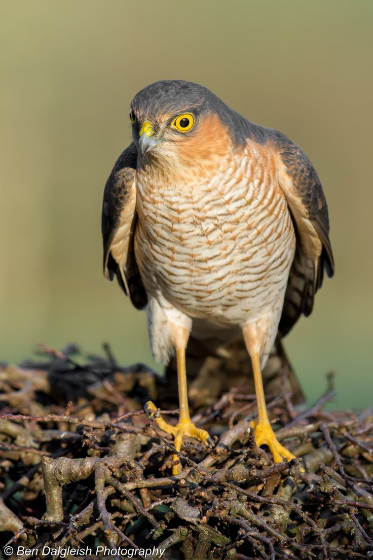 Eurasian Sparrowhawk, Accipiter nisus