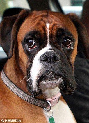 Impatient dog blares horn when he is left in the car.
