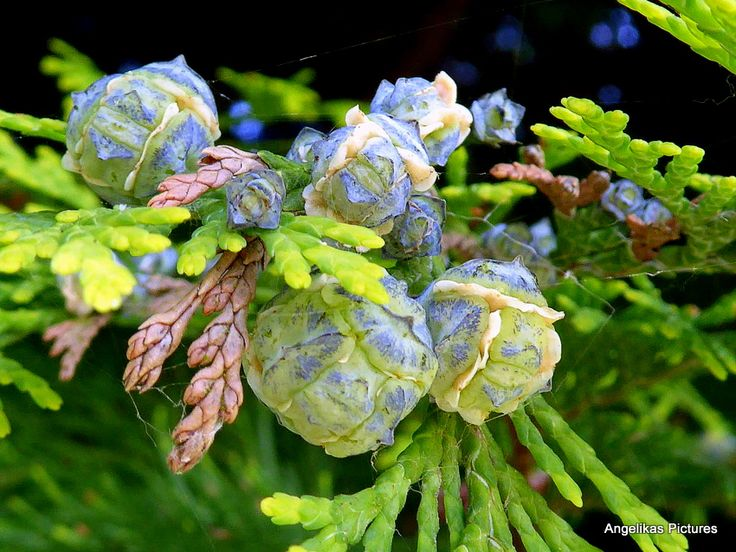 Vruchtjes van de Dennenboom