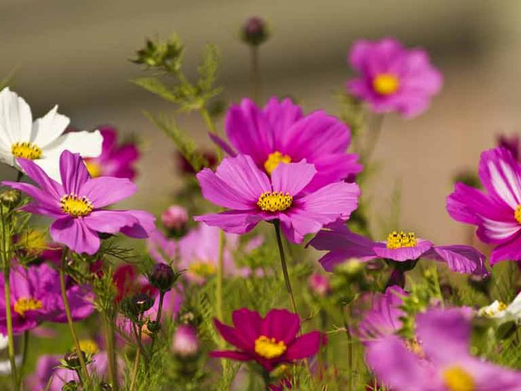 how to grow daisies flowers