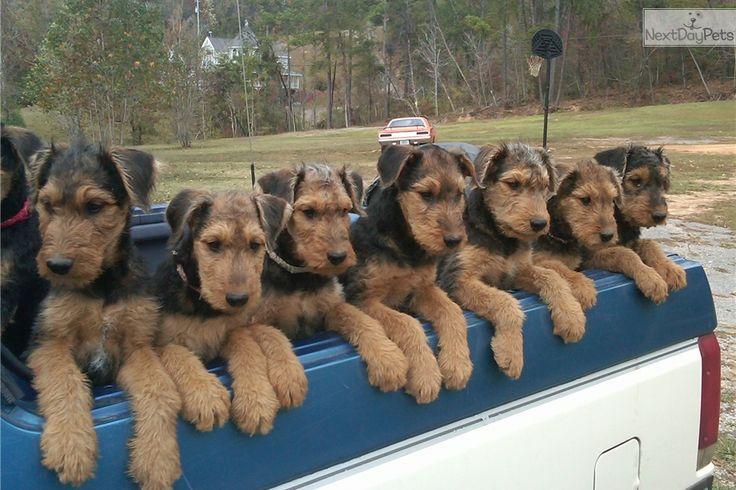 Airedale Terrier puppy for sale near Huntsville / Decatur