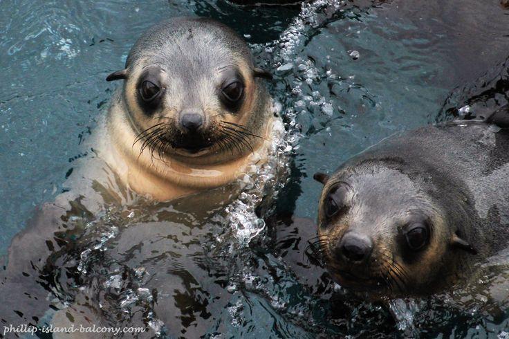 Inquisitive seal pups at Seal Rocks, Phillip Island, Australia