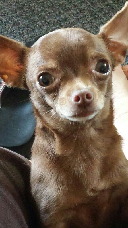 """My Chihuahua named Chocolate"" There is so much soul in those eyes."