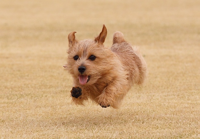 Really Cute Norfolk Terrier at the beach