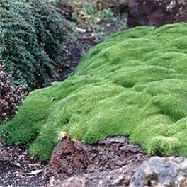 Scleranthus Biflorus * Grows to 15cm to 75cm in width * This hardy evergreen native with its bright green moss like foliage forms a dense matt quickly covering the ground with a soft carpet like appearance. This plant looks spectacular in either containers or in rockery displays * Requires will drained soil * Enjoys full sun * Coastal tolerant and frost tolerant