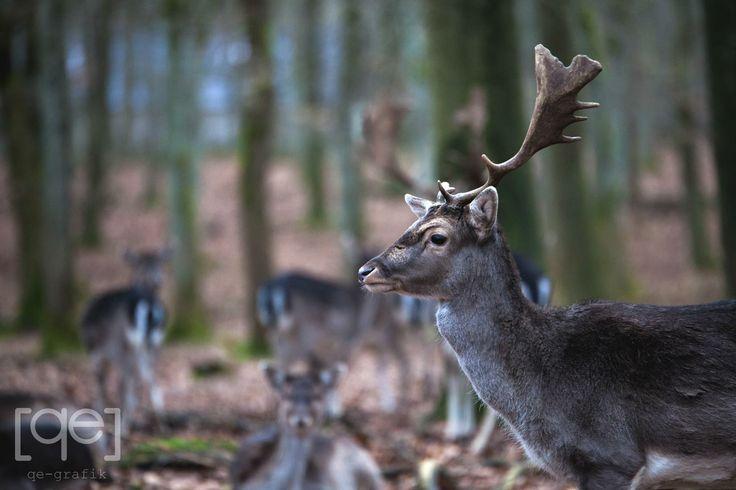 Danish stag - Photograph by Qe-grafik