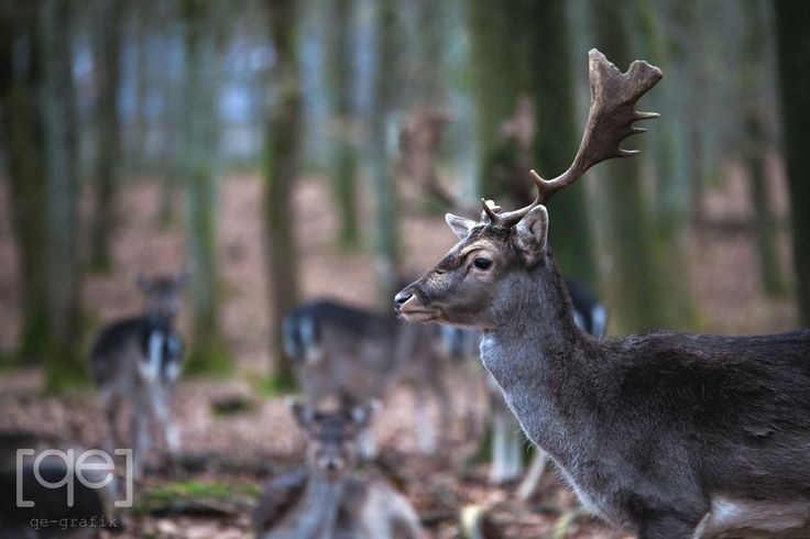 Danish stag - Photograph by Qe-grafik