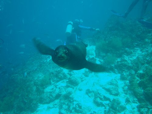 playful seal, while SCUBA diving