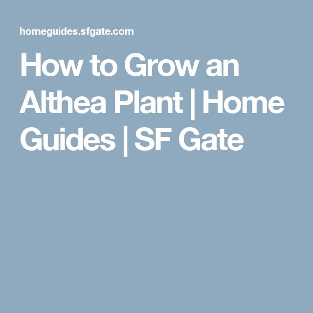 How to Grow an Althea Plant   Home Guides   SF Gate