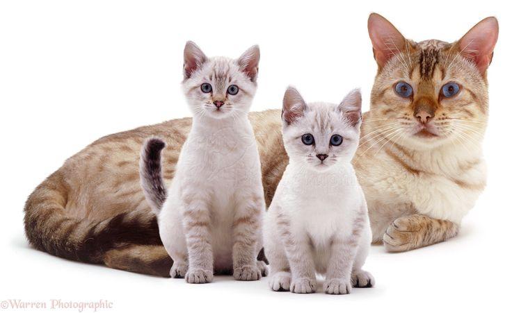 17 meilleures id es propos de chat leopard du bengal sur - Chat type leopard ...