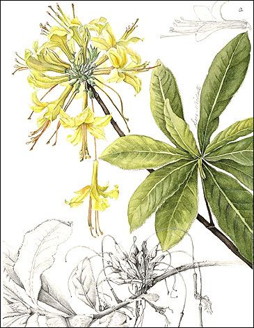 Rhododendron luteum © S. Nicholls . Rhododendron luteum, Yellow Azalea or Honeysuckle Azalea is a species of Rhododendron native to southeastern Europe and southwest Asia. It is a shrub , the flowers are  bright yellow, and strongly perfumed but the nectar is toxic. Botanical Drawings  BBC - South Yorkshire - In Pictures - Botanical Art