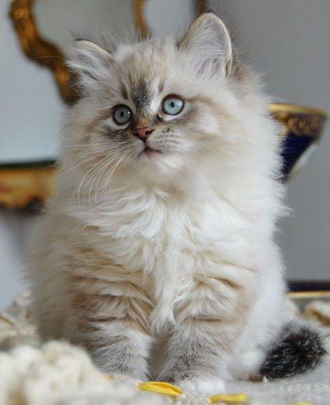♔ Siberian kitten.