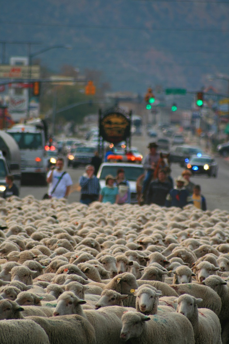 Cedar City Livestock Heritage Festival Sheep Parade in downtown Cedar City Utah. Discover more at www.visitutah.com and www.discoveramerica.com