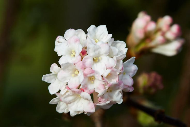 Winterschneeball Blüte Blumenbeet