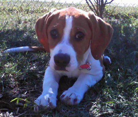 25+ best ideas about Boxer Beagle Mix on Pinterest | Pug ... Beagle Boxer Mix Full Grown