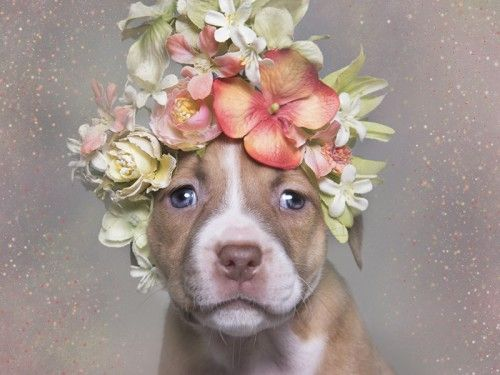 """More photos like this need to be done to get them adopted. """"Pit Bull Flower Power,"""" the animal adoption project that's stolen our hearts https://hellogiggles.com/pit-bull-flower-power-animal-adoption-project-thats-stolen-hearts/"""