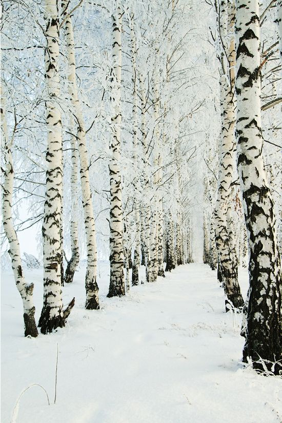 how gorgeous is this?  birch trees in snow by Denis Belyaev