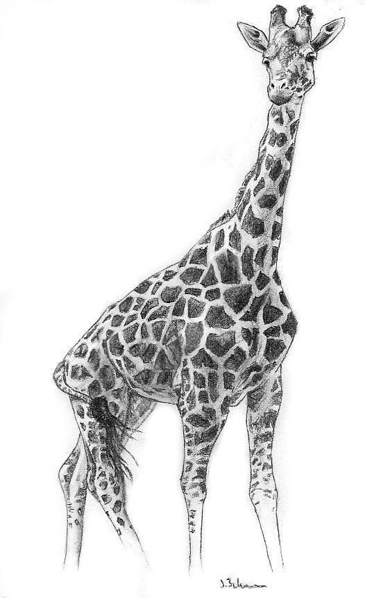 Image detail for charcoal giraffe by fixedexpression on for Giraffe draw something