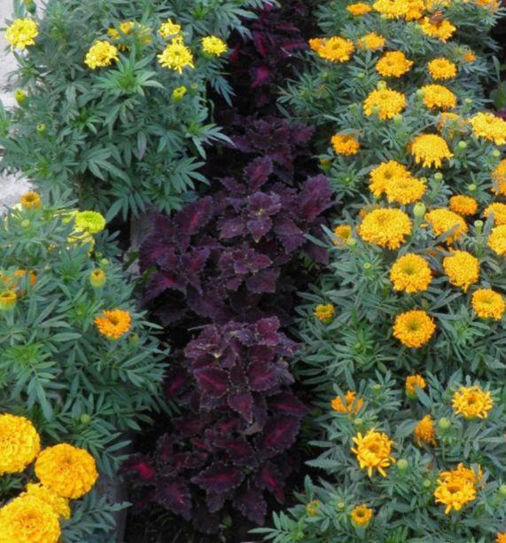 Колеусы в нашем саду | Страница 35 | Форум - FORUMHOUSE