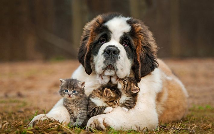Download wallpapers saint bernard puppy, little gray kittens, friendship concepts, cat and dog