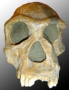 Homo Habilis 2.33 -1.4 million years old discovered by Louis and Mary Leaky. Are thought to be the first to use tools.