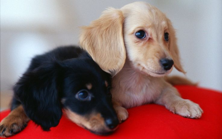 #VetsSherbourne Dachshunds are good family dogs if they are brought up with kids, but it's important to supervise play so that children don't pick up or hold them incorrectly.