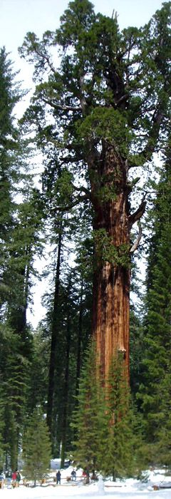 Giant Sequoia stats - Oldest : Muir Snag (Converse Basin Grove) 3.500+ years.  Tallest : Unnamed tree (Redwood Mountain Grove) 311 feet.  Greatest girth : Waterfall tree (Alder Creek Grove) 155 feet - tree with enormous basal buttress on very steep ground.  Largest, by volume : the General Sherman (Giant Forest) : height 274.9 ft, girth of 102.6 ft, estimated weight 2100 tonnes. (All of these trees are in California).