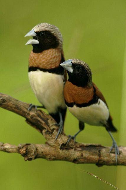 Chestnut-breasted Mannikins - Australia. #Birds