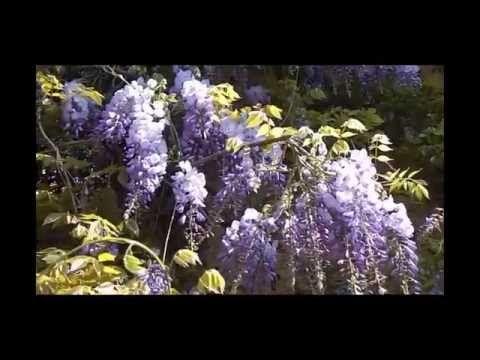 Красивое видео Глициния  Wisteria