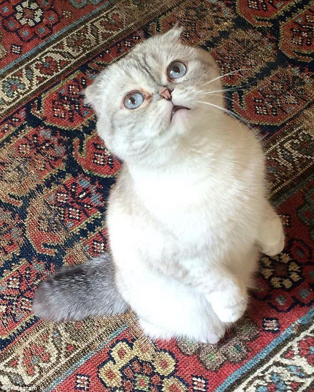 Vets Say Scottish Fold Cats Should Be Banned As Breeding Them Cruel Taylor Swift Cat Cat Scottish Fold Taylor Swift