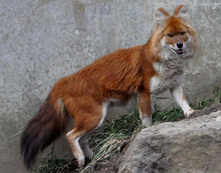 dhole - sieht aus wie ein fuchs-wolfs-mix (http://blogs.wcpss.net/thefewandthewild/2013/05/17/dhole/ )