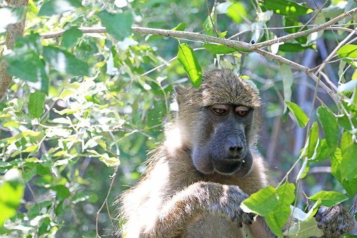 The Baboons of Victoria Falls © Royal Chundu