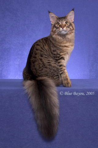 #MaineCoon #Black #Tabby #Mackerel #Cats QGC, CH Snuglcoons Get Ur Bootie Outta Here