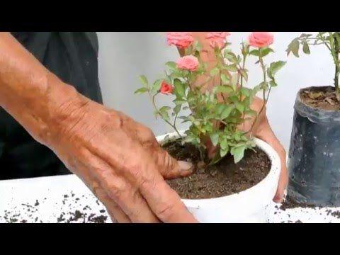 Cultivo de rosas en miniatura - YouTube