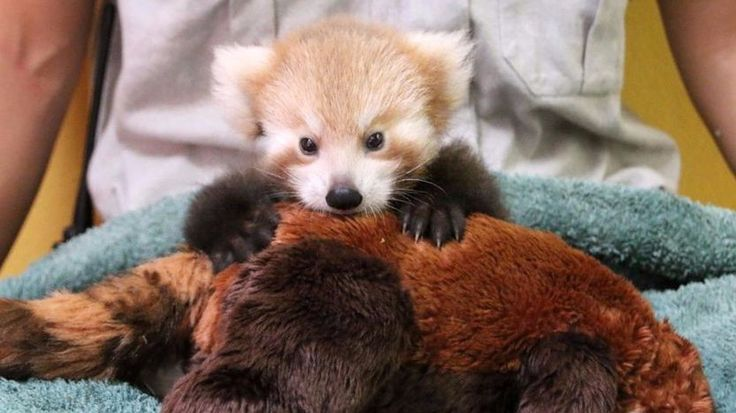 New article Red panda cub that loves her identical red panda toy is awfully cute on http://ift.tt/2nofstk. Don't miss it!