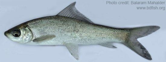 Goni fish, Labeo gonius