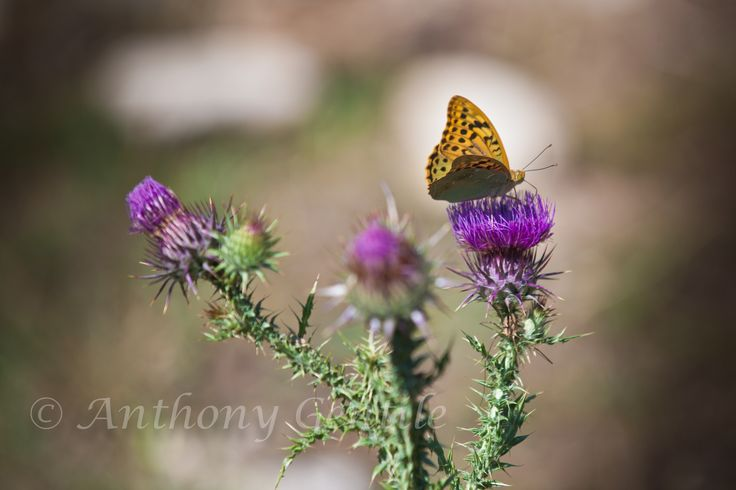 Butterfly  #Butterfly #flowers #anthonygentilephotography