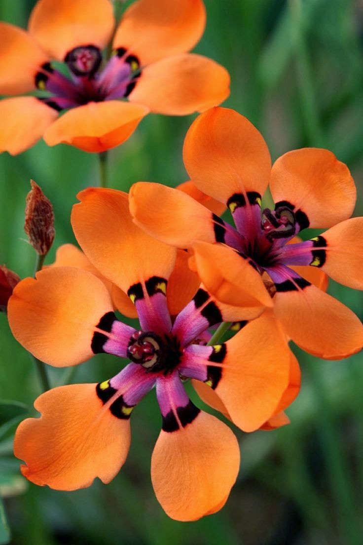 719 best south african plants images on pinterest pretty flowers cape buttercup sparaxis elegans sweet goldblatt family iridaceae common names cape buttercup spar axis pale harlequin flower mightylinksfo
