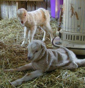 Sweaters for baby goats born during the cold months. Fias Co Farm- Goat Sweaters