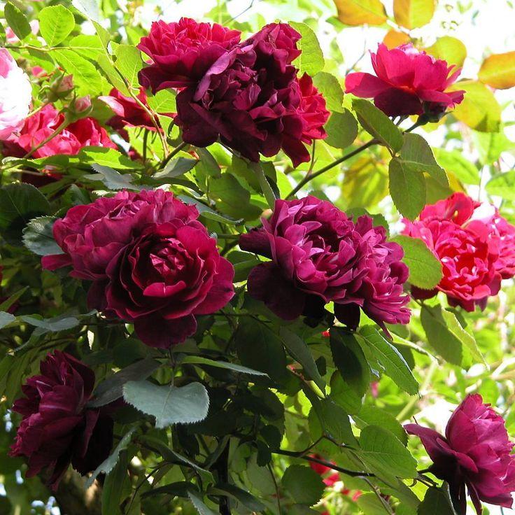 カーディナルヒューム。我が家のピンクや白の花の多い庭でこのクリムゾン色の花はアクセントになる薔薇です。我が家の春の薔薇...過去pic #薔薇 #薔薇の花 #薔薇の庭 #ばら #バラ #ローズ #ローズガーデン #やっぱり薔薇が好き #マイガーデン #ガーデン #ガーデニング #rose #花 #myrose #flowers #roses #rosegarden #mygarden #garden #gardening #flowersofinstagram #flowerslovers #flowerstagram #instarose #instaflower #カーディナルヒューム #我が家の春の薔薇