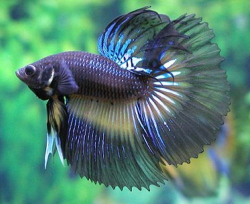 87 best images about ornamental fishes on pinterest neon for Cute betta fish