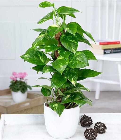 20++ Grosse zimmerpflanzen guenstig online kaufen ideen