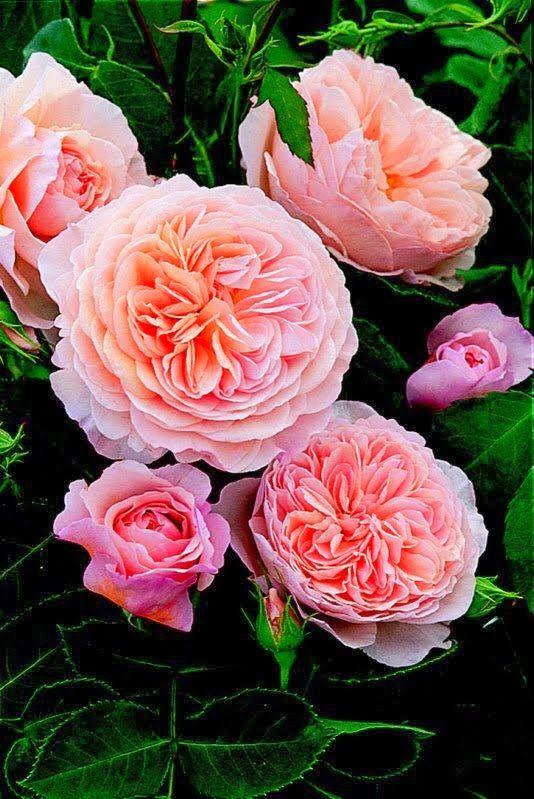 59 best english roses images on pinterest english roses for English garden tools yeah yeah yeah
