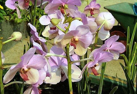 Orchidea a szabadban - Vigyük ki, vagy inkább maradjon bent a lakásban? - Egy az Egyben